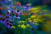 Flowers in the butterfly garden, captured with a lensbaby and saturated with Topaz Adjust