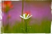 Wildflower in Texas field